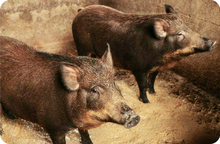 上野村の「猪豚(いのぶた)